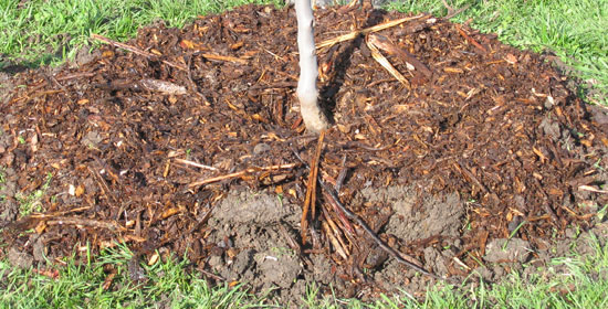 Mulch on Tree Roots